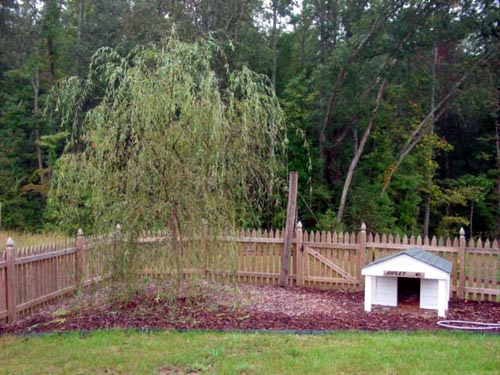 This is the willow tree, about 3 months after we planted it, in the back corner of the yard with the dog house.